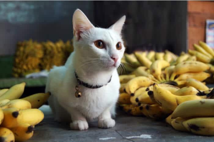 Aspectos negativos de la alimentación de gatos con banana