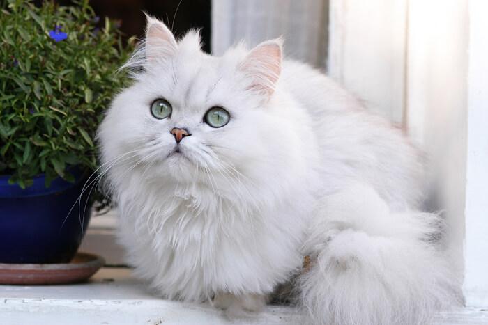 Gato persa plateado