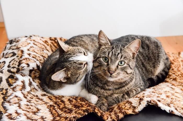 Dos gatos acurrucados y acicalados.