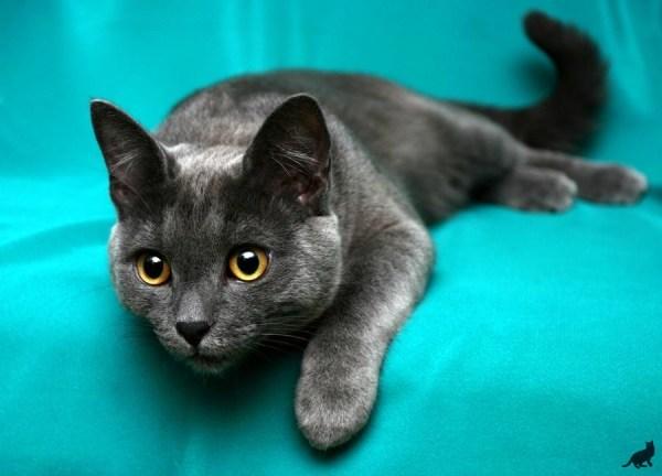 Породы Кошек С Фотографиями Короткошерстные