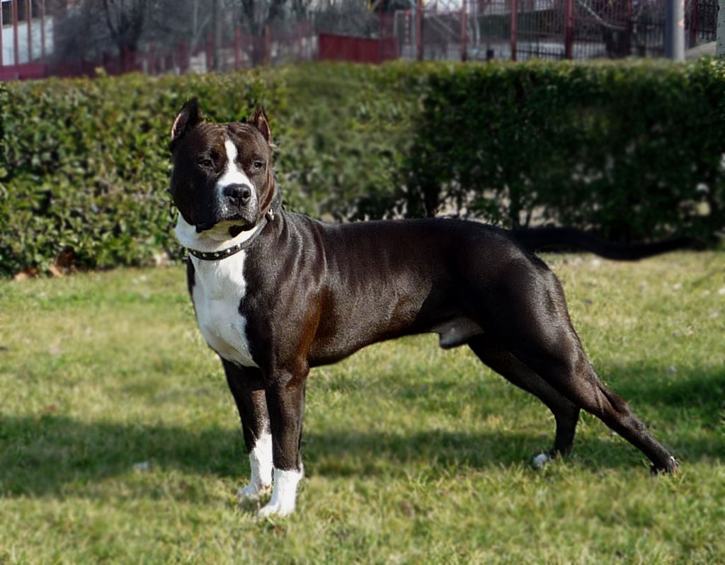 American Staffordshire Terrier - All About Dogs American Stafford