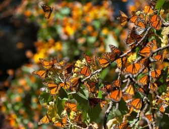 How to See Millions of Monarch Butterflies in Mexico