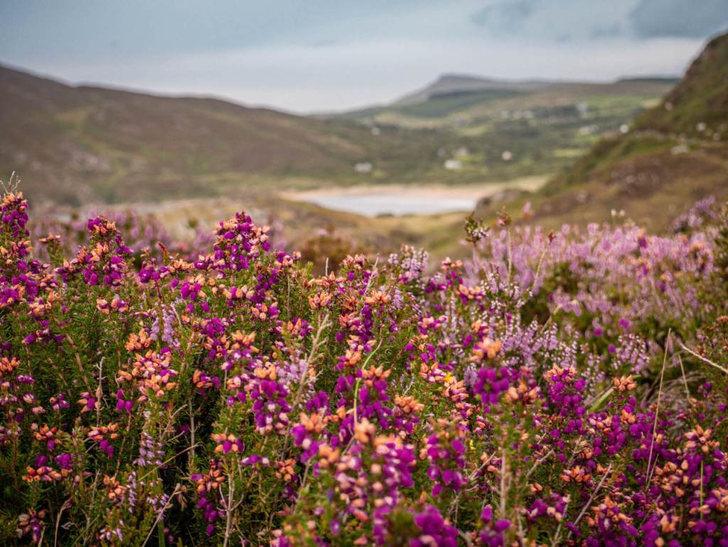 Wild heathers at Fort Dunree near Buncranna on the Inishowen peninsula in Donegal.