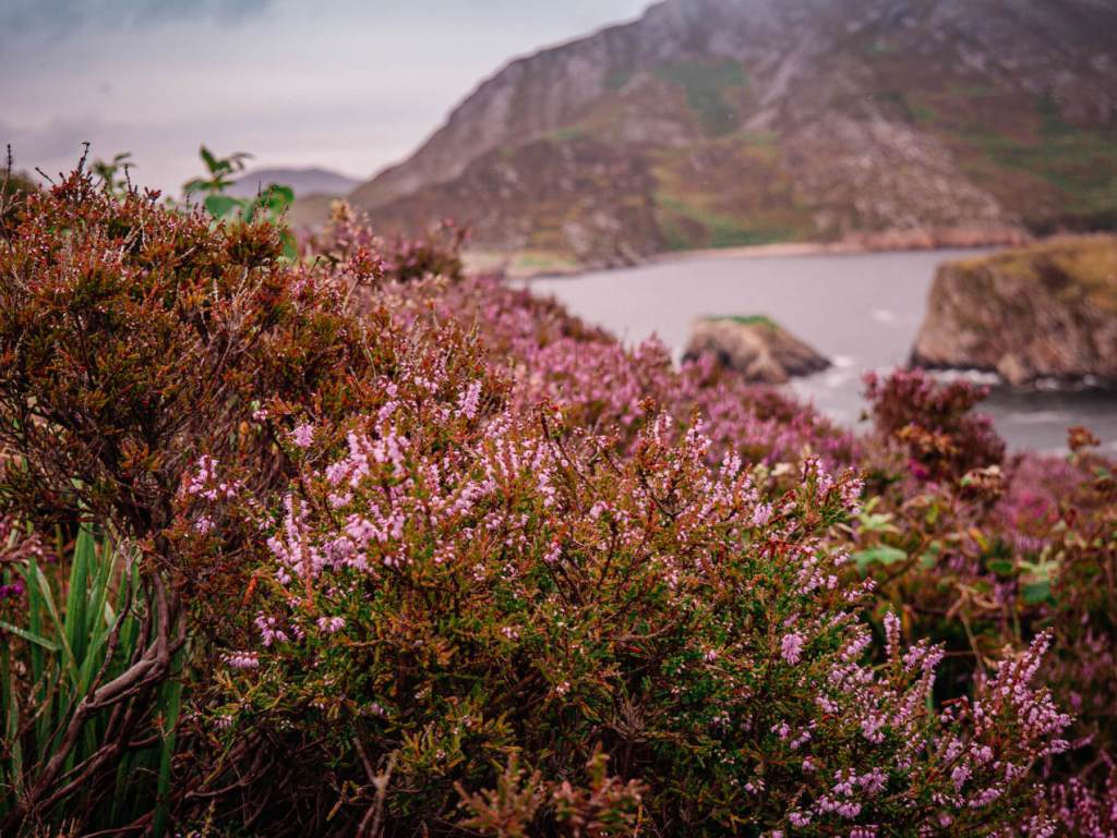 Heather on the hills of Donegal, the ideal place for your staycation in Ireland