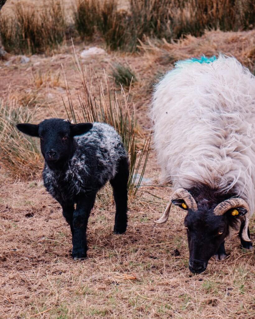 Ewe and her black lamb in Connemara Ireland