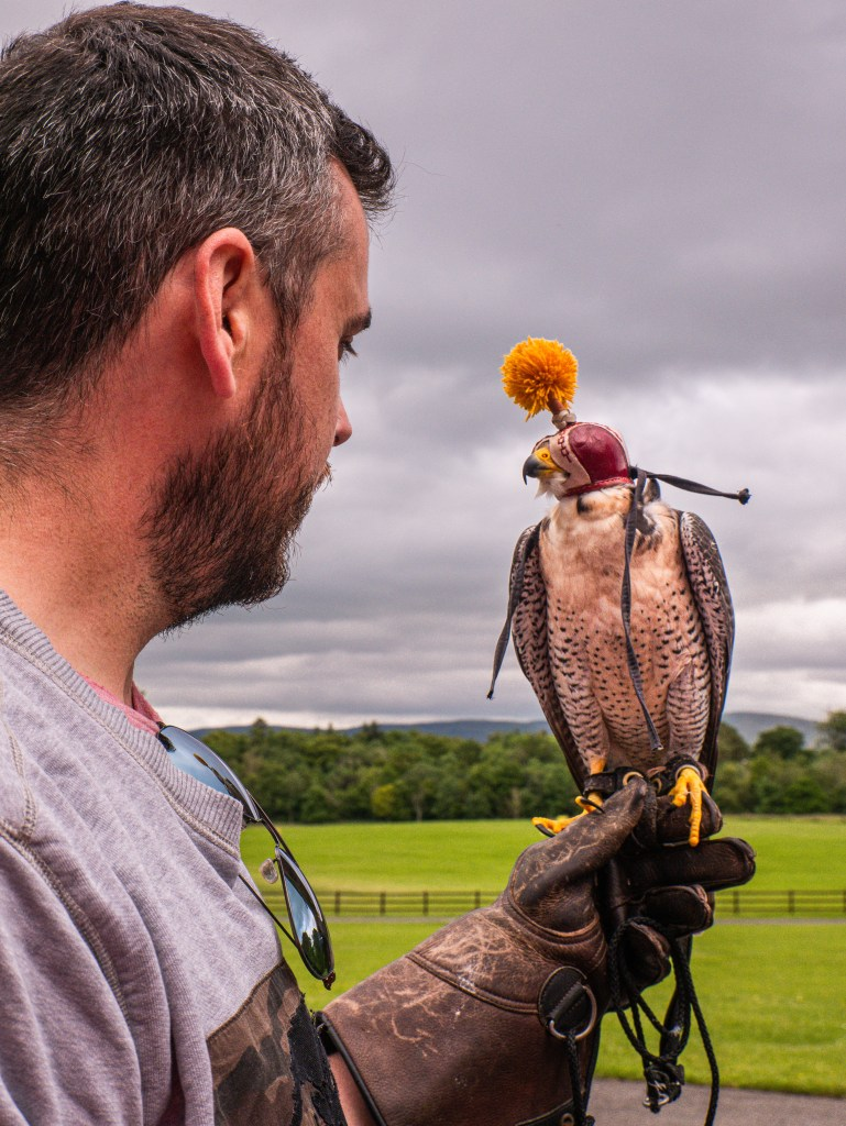 Male guest holding a peregrine falcon during the hawk walk at mount falcon ireland