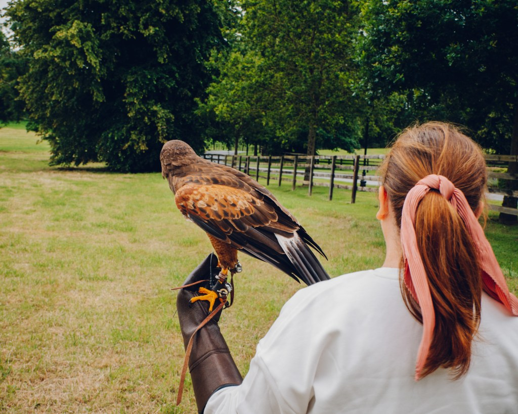 Woman walking with a harris hawk on the falconry experience at the Lyrath estate in Kilkenny Ireland