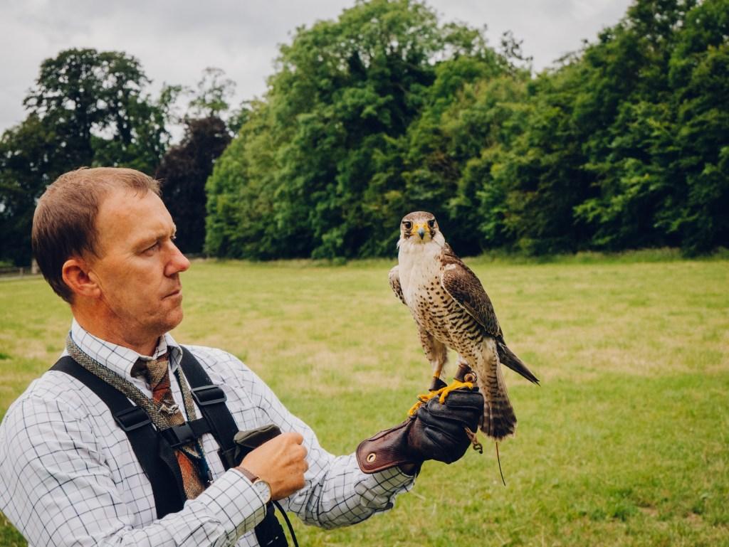 Falconer at Lyrath estate demonstrating the flight of a peregrine falcon in the Lyrath estate in Kilkenny Ireland