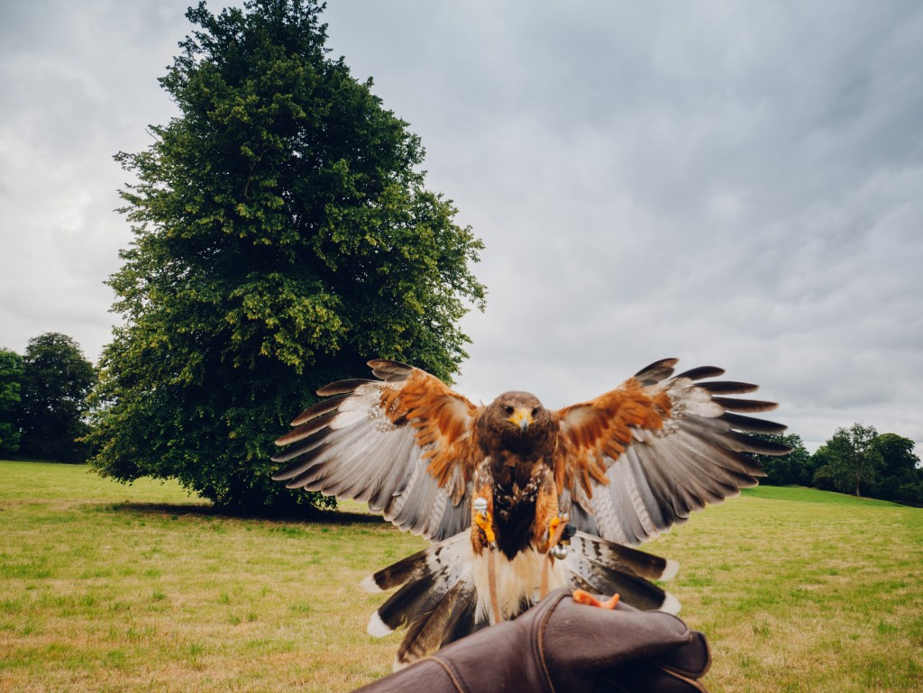 Harris hawk landing on a gloved hand on the falconry experience at the Lyrath Hotel in Kilkenny Ireland