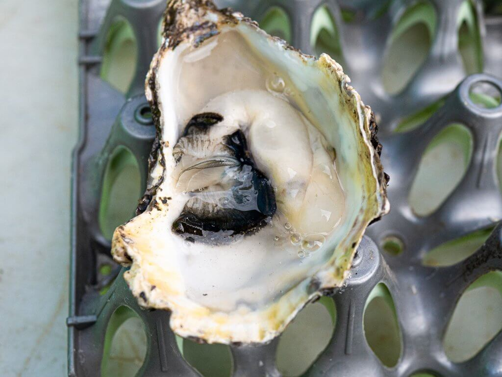 Galway Oyster