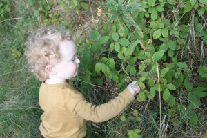 Picking blackberries growing in the wild
