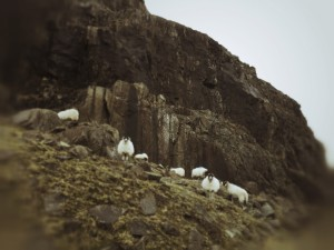 Isle Of Skye - Sheep on the Mountains