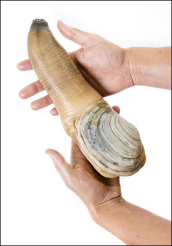 601px-Geoduck_held_in_two_hands2