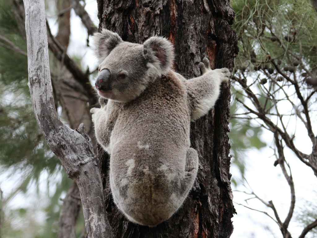 Tweeters Country Getaway Koala