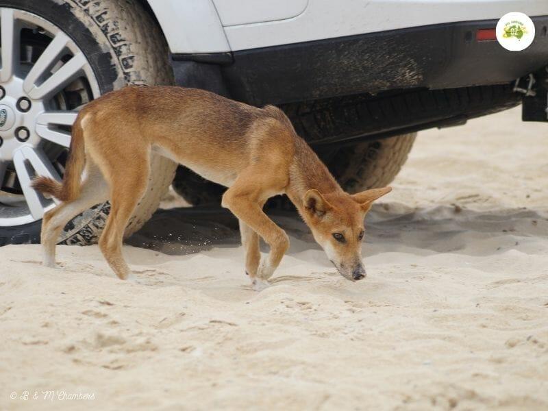 Fraser Island - Dingo Safety