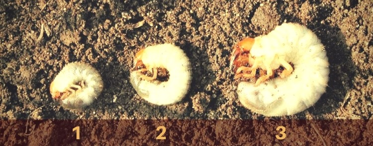 brown spots in your lawn may be caused by grubs