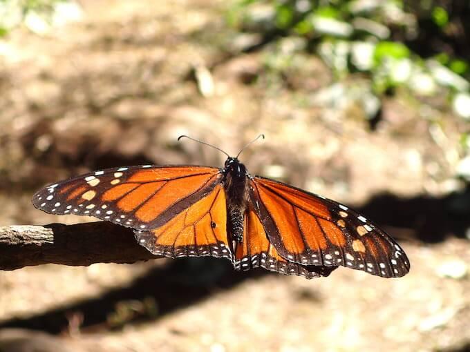 アンガンゲオの幻の蝶に会いに行く(メキシコ)11