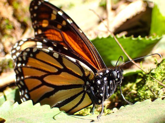 アンガンゲオの幻の蝶に会いに行く(メキシコ)14