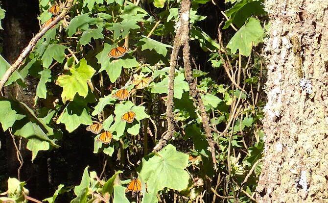 アンガンゲオの蝶2