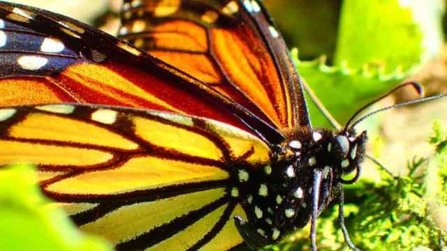 メキシコのモナルカ蝶(アンガンゲオ)