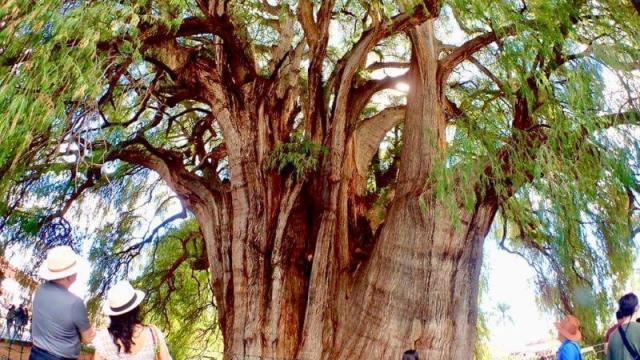 オアハカのトゥーレの木