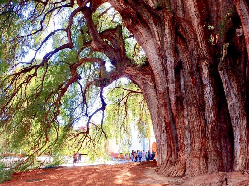 オアハカのトゥーレの木2