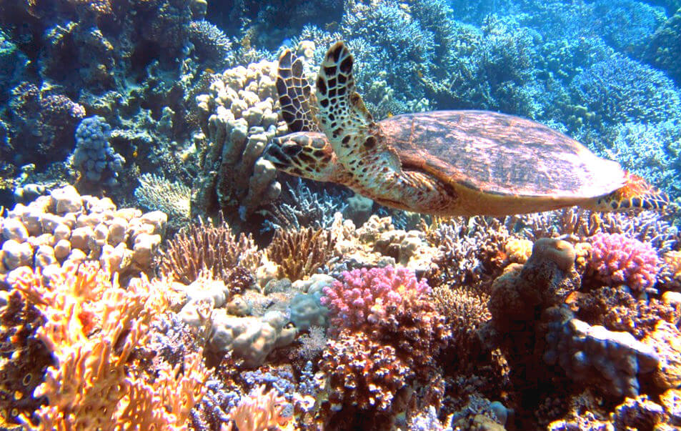 ウミガメとサンゴ礁(ダイビング)