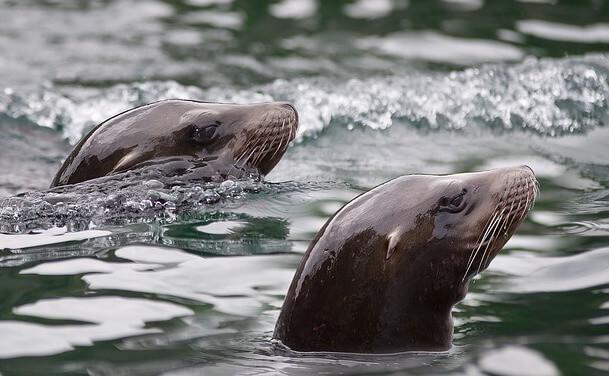 アシカ(Sea Lion)イスラムヘーレス3