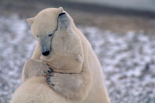 Любовь в Арктике. Cекреты романтического флирта братьев наших меньших