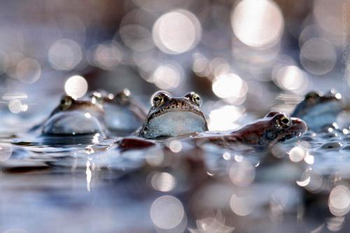 Жизнь замечательных лягушек. Весенняя фотоистория от Андриана Колотилина