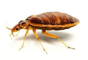bedbugs herkennen