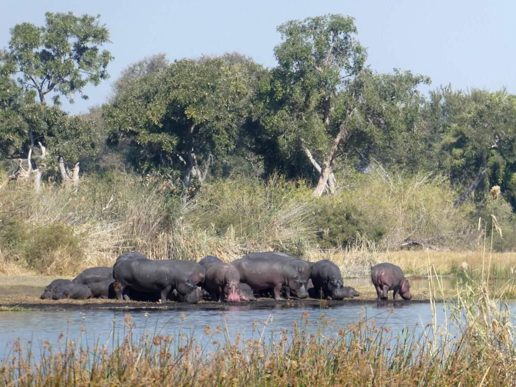 Nijlpaarden in de Okavanga Delta