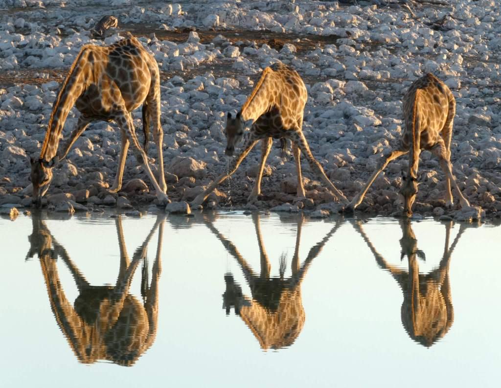 Giraffen bij de drinkplaats van Okaukuejo