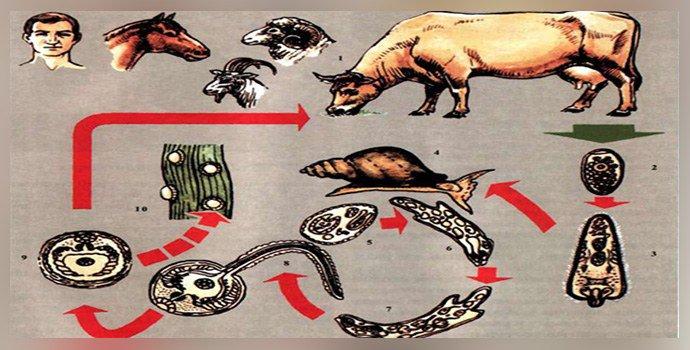 Teza fascioliazei bovine, Cancer pancreatico biliary