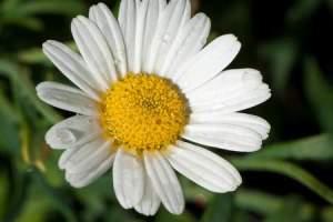 chamomile allergy