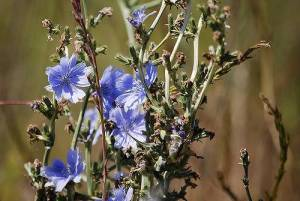 side effects of chicory root extract