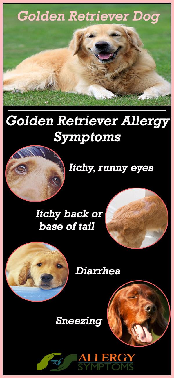 golden retriever allergy