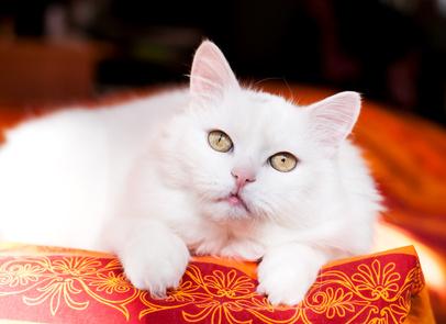Steckbrief Angora - Katze