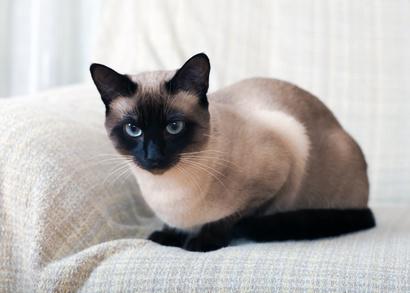 Steckbrief Siam - Katze