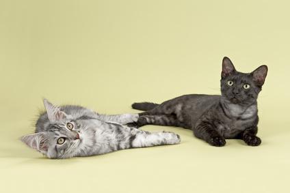 Steckbrief Ägyptische Mau - Katze