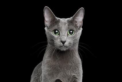 Steckbrief Russisch Blau – Katze