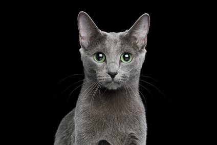 Russian blue Cat on Black Background