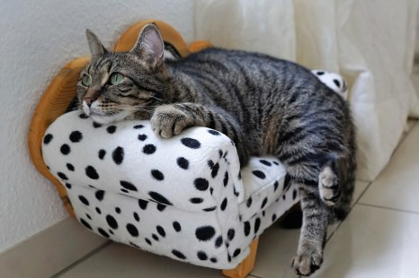 Getigerte Hauskatze auf dem Sofa