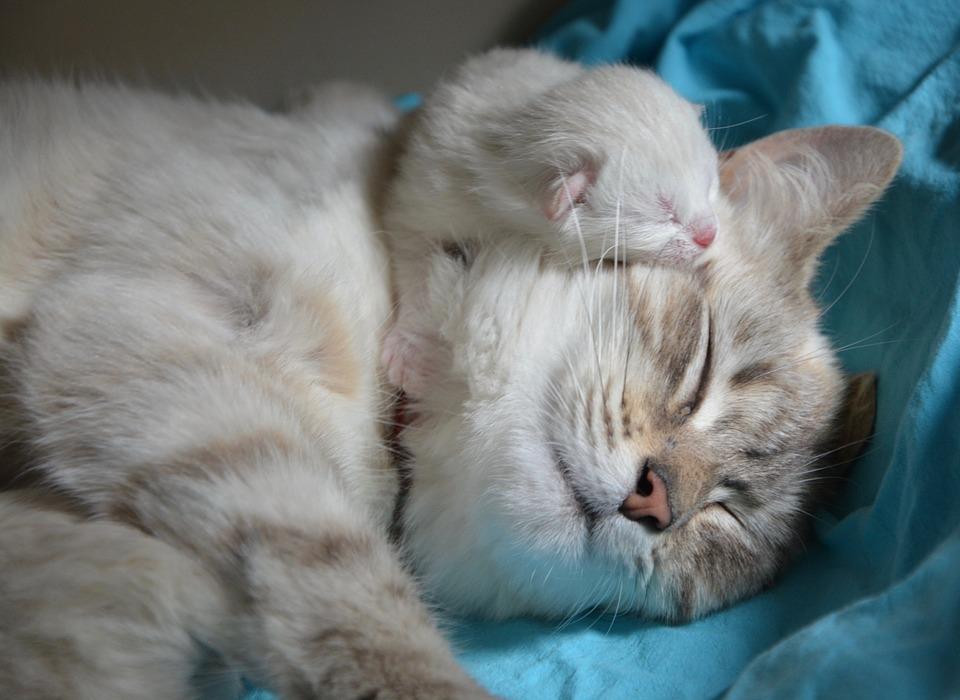 Tragezeit Katzen: Wie lange sind Katzen trächtig?