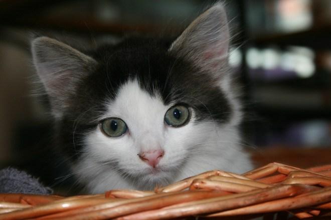 Kätzchen mit nach vorne gerichteten Katzenohren