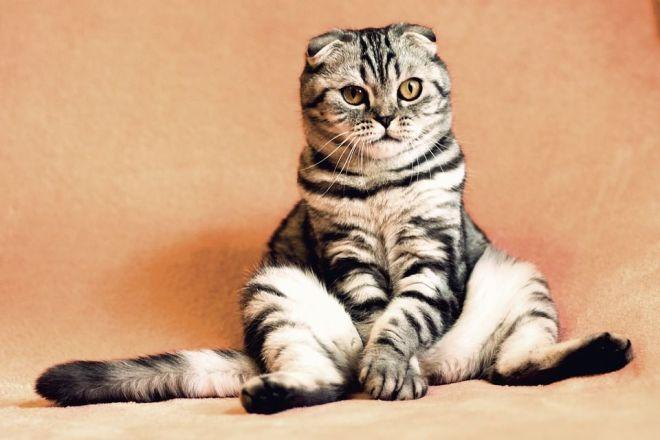 Sitzende Hauskatze