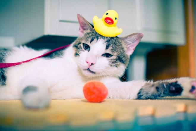 Katze mit Plastikente