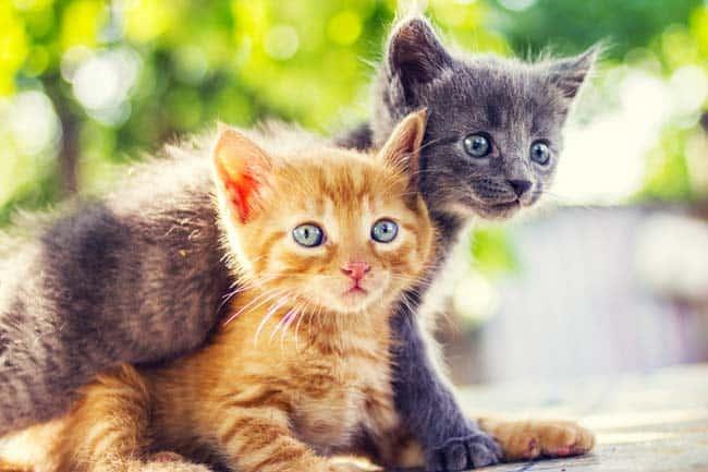 Wie Lange Sind Katzen Rollig Details über Die Rolligkeit