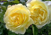 zwei gelbe Rosen