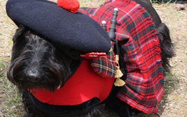 Dog with Scottish attire